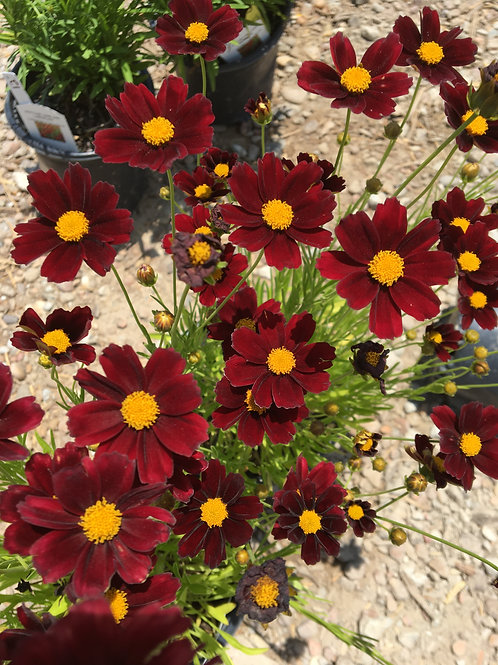 Li'l Bang™ Red Elf Coreopsis