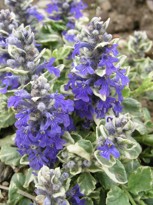 Ajuga Silver Beauty