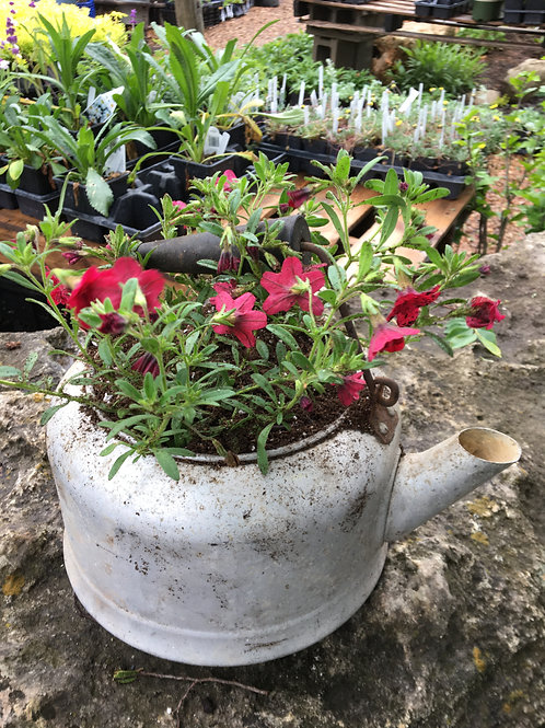 Calibrachoa Tea Kettle