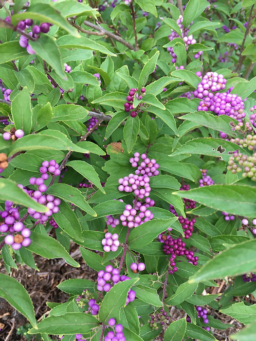 Purple Pride Beautyberry