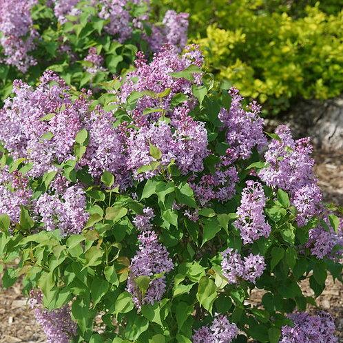 Scentara Pura® Lilac