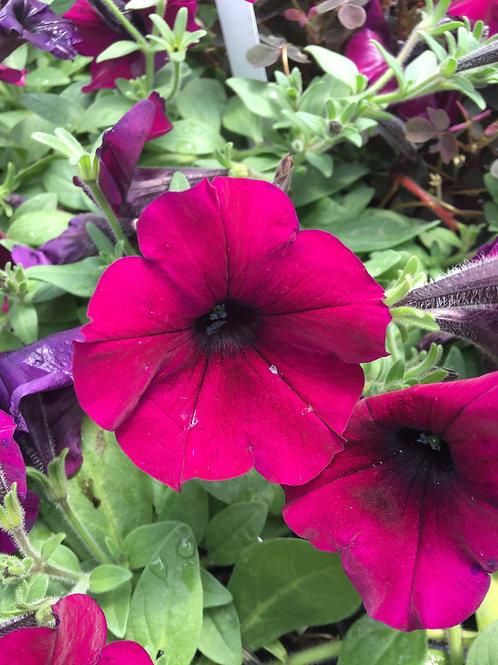 Petunia Wave® Purple