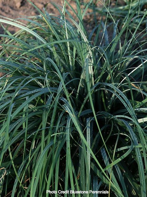 Blue Zinger Sedge Grass