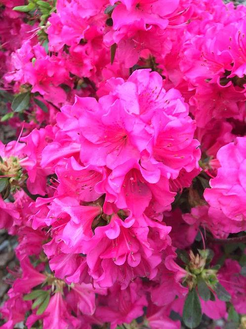 National Beauty Azalea