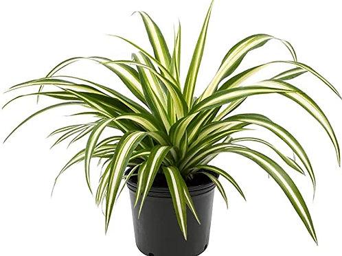 Chlorophyt Airplane Plant Variegate 'Spider Plant'