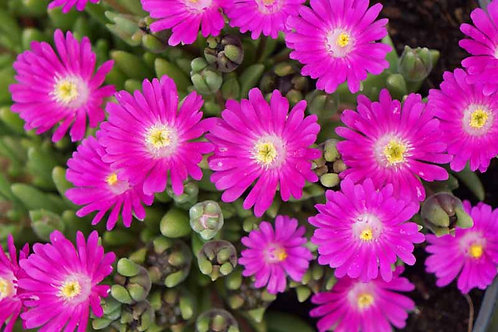 Ice Plant 'Jewel of Desert Opal'