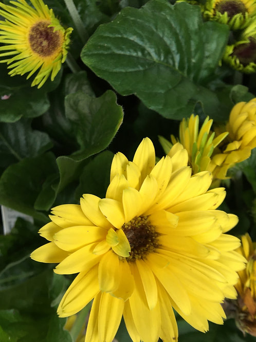 Gerbera 'Yellow Dark Eye'