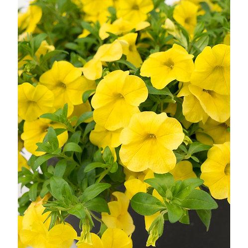 Calibrachoa hybrid Aloha Kona 'Yellow'