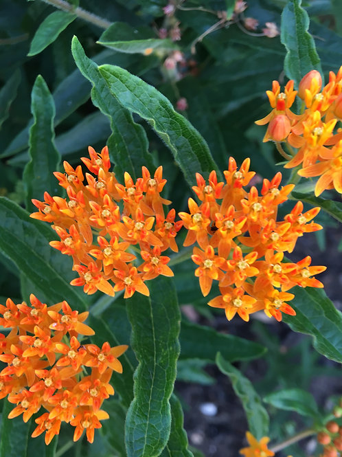 Asclepias Tuberosa 'Butterfly Weed'