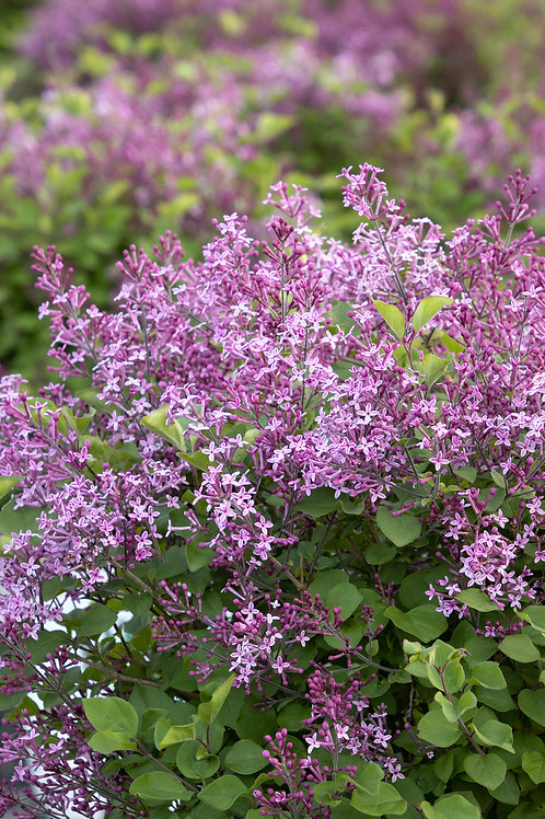 Bloomerang® Dark Purple Lilac