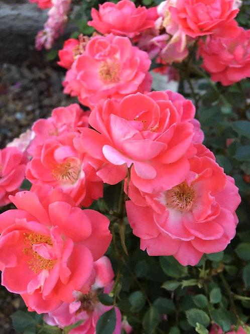 Livin' La Vida® Rose
