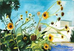 Sunflowers Georgetown TX