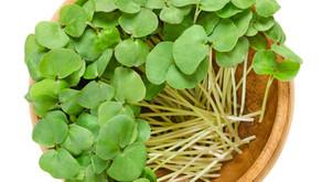 Growing microgreens in soil