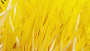 Growing popcorn shoots microgreens
