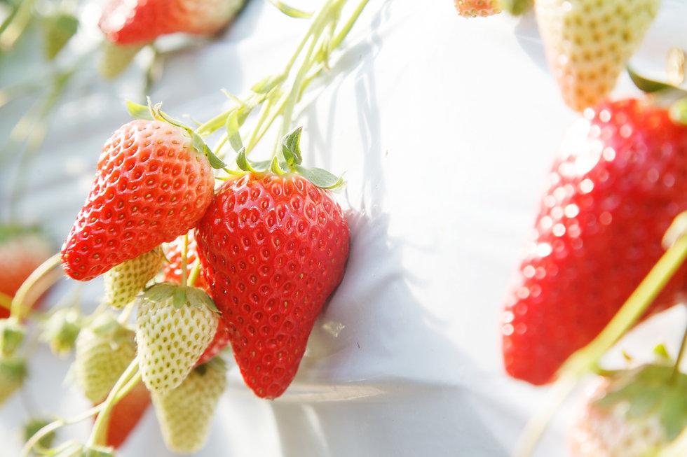 hydroponicstrawberries