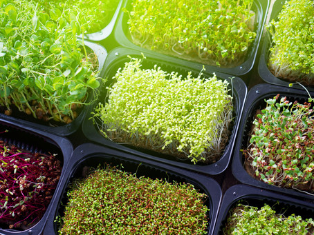 Growing Microgreens for Profit: Is It a Good Idea for a New Business?