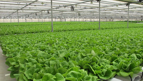 How to Prevent and Identify Plant Diseases in Hydroponic Growing Systems