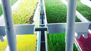 How to maintain a NFT microgreens system