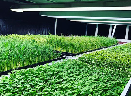Understanding microgreens production without a solid rooting medium