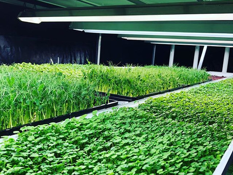 CO2 tips in growing microgreens