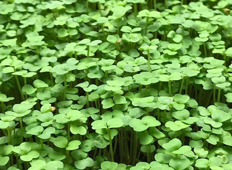 Rules for growing microgreens indoors