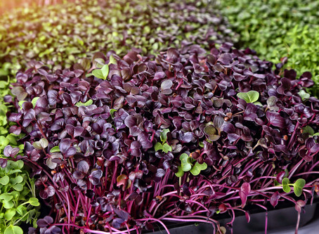 The Technique Behind Watering Microgreens from the Bottom