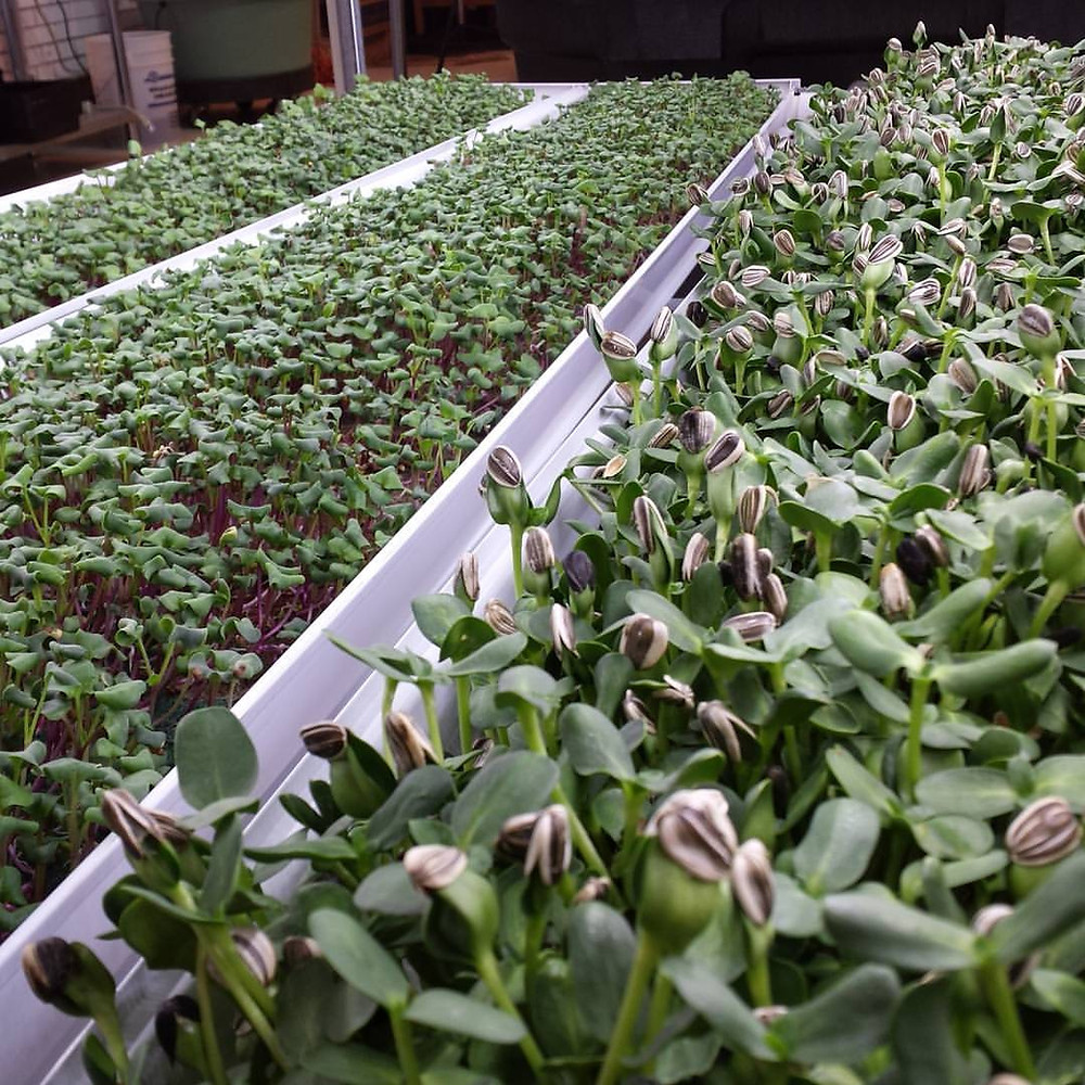 growing microgreens with an NFT system