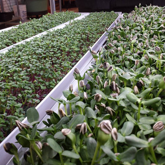 How to solve the top problems in growing microgreens