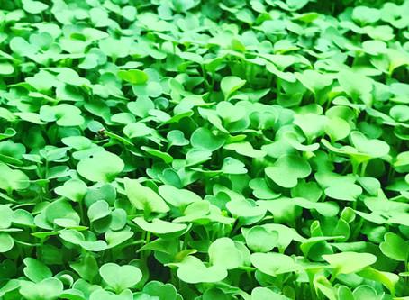 Microgreens with mega nutrients