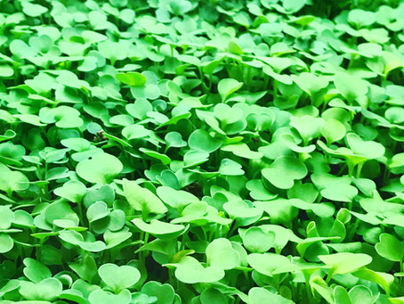 Microgreens with mega nutrients