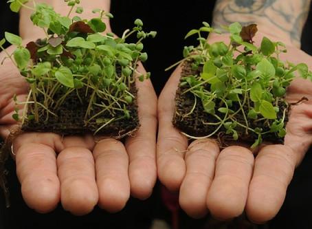 Microgreens we love to grow