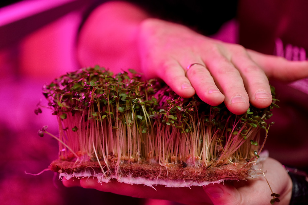 microgreens growing on jute pads