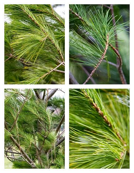 Macro Pine Tree (Non-Exclusive License)