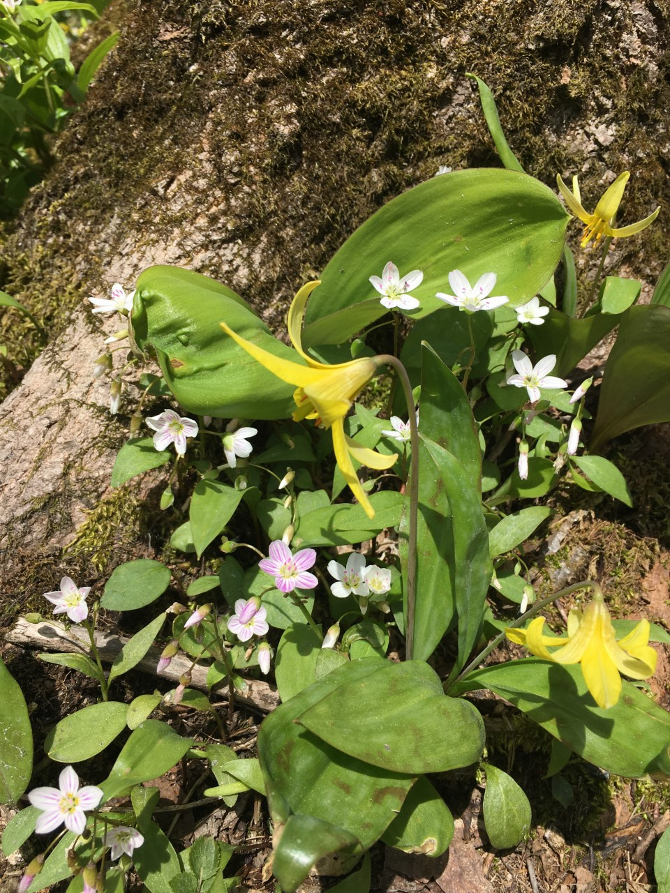 Long Trail: Claytonia and Trout Lily