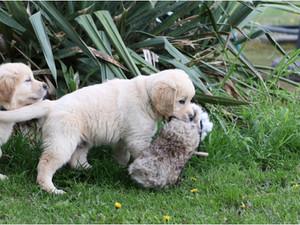 Zlatý retrívr - lovecký pes?