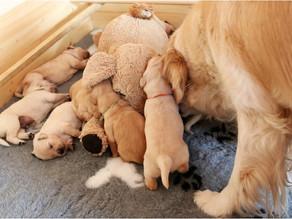Když psí mámě pomáhá plyšák