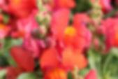 Snapdragon-Snapshot-Orange-2.jpg