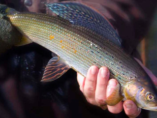 Arctic Grayling!