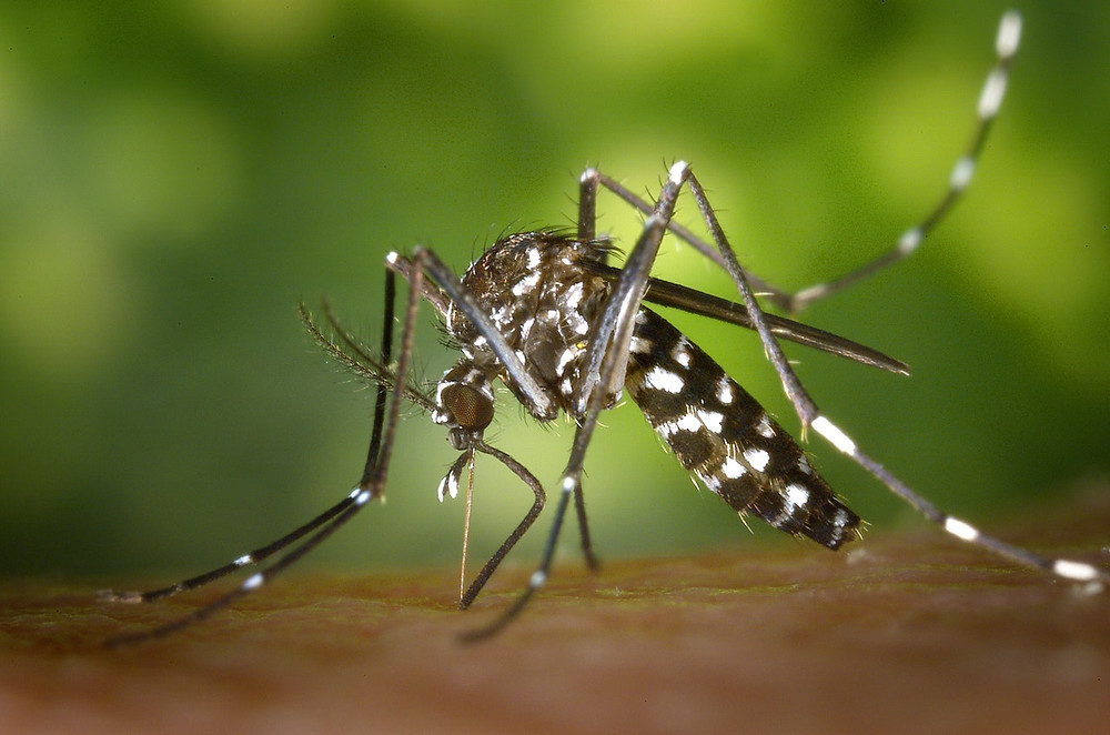 Mosquito causing infectious disease such as malaria