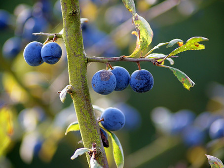 Autumn's here time to make sloe gin