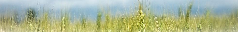 Wheat%20Pano_edited.jpg