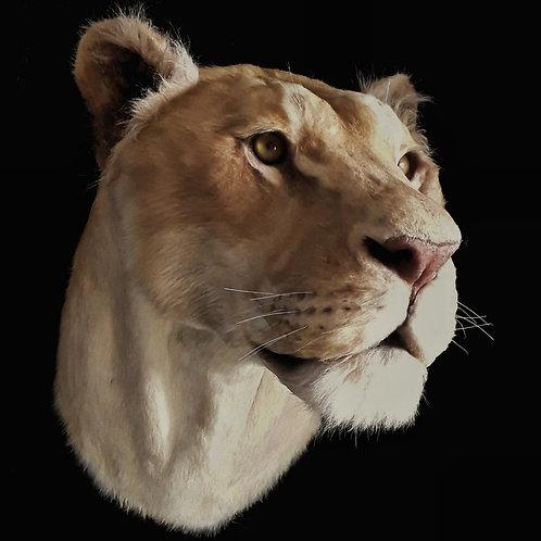 Reproduction Tête de Lionne Faux Taxidermie
