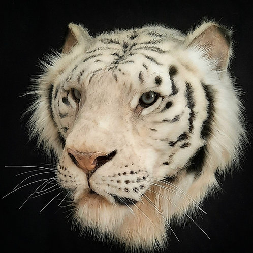 Reproduction White Tiger Head Taxidermy Mount