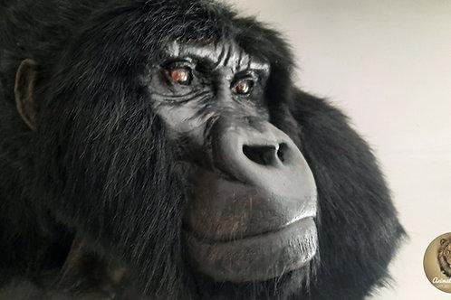 Reproduction Monture de taxidermie à épaule de gorille à dos argenté