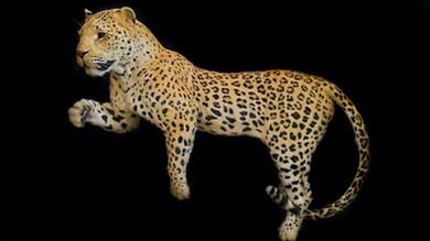Full sized African Leopard replica taxidermy