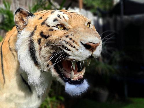Reproduction Snarling Tiger Faux support de tête de taxidermie