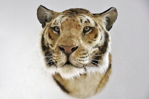 Reproduction Tête de tigre faux taxidermie