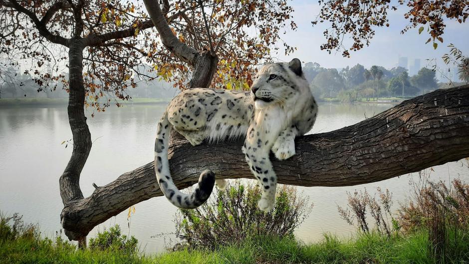snowleopard.jpeg