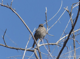 house finch female.jpg