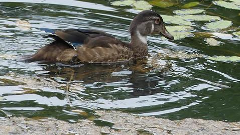 ALS -wood duck female.jpg